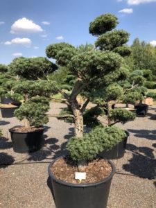 1606 - Borovice drobnokvětá - Pinus parviflora 'Tempelhof'