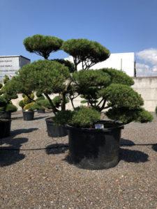 1607 - Borovice kleč - Pinus mugo mughus