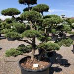 1608 - Borovice kleč - Pinus mugo 'Gnom'