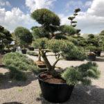 1609 - Borovice lesní - Pinus sylvestris 'Norske Typ'