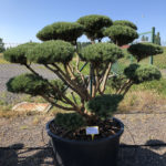 1610 - Borovice lesní - Pinus sylvestris 'Watereri'
