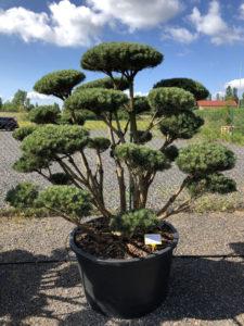 1611 - Borovice lesní - Pinus sylvestris 'Watereri'