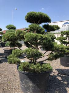 1613 - Borovice kleč - Pinus mugo 'Gnom'