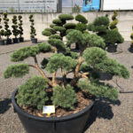1614 - Borovice lesní - Pinus sylvestris 'Repens'