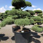1615 - Borovice lesní - Pinus sylvestris
