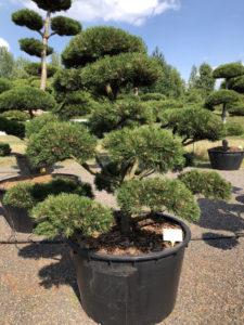 1616 - Borovice kleč - Pinus mugo 'Gnom'