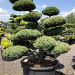 1617 - Jalovec prostřední - Juniperus media 'Hetzii'