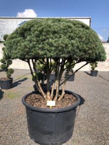 1618 - Borovice lesní - Pinus sylvestris 'Watereri'