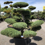 1619 - Jalovec prostřední - Juniperus media 'Hetzii'