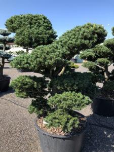 1620 - Borovice drobnokvětá - Pinus parviflora 'Tempelhof'