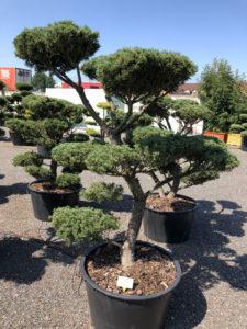 1621 - Borovice drobnokvětá - Pinus parviflora 'Tempelhof'