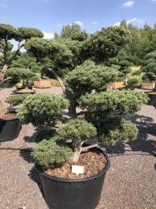 1622 - Borovice drobnokvětá - Pinus parviflora 'Tempelhof'