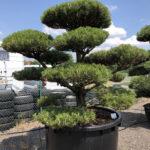 1624 - Borovice černá pravá - Pinus nigra nigra