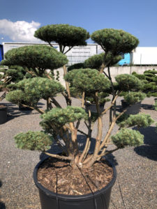 1626 - Borovice lesní - Pinus sylvestris 'Watereri'