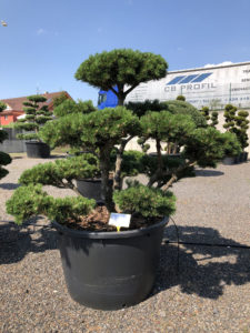1628 - Borovice kleč - Pinus mugo 'Gnom'