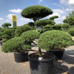 1629 - Borovice kleč - Pinus mugo mughus