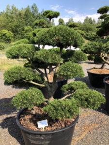 1630 - Borovice kleč - Pinus mugo 'Gnom'