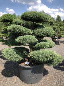 1631 - Jalovec prostřední - Juniperus media 'Hetzii'