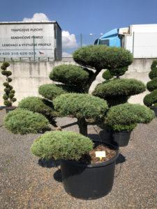 1632 - Jalovec prostřední - Juniperus media 'Hetzii'