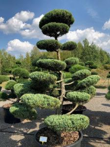 1633 - Jalovec prostřední - Juniperus media 'Hetzii'