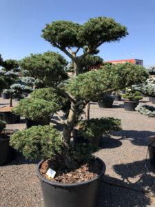 1634 - Borovice drobnokvětá - Pinus parviflora 'Tempelhof'