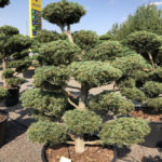 1635 - Borovice drobnokvětá - Pinus parviflora 'Tempelhof'