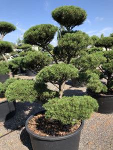 1636 - Borovice kleč - Pinus mugo 'Gnom'