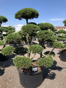 1637 - Borovice kleč - Pinus mugo 'Gnom'