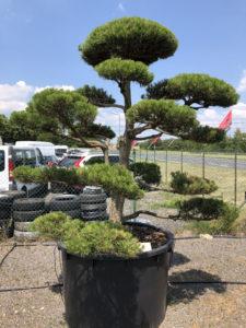 1638 - Borovice černá pravá - Pinus nigra nigra