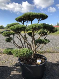 1639 - Borovice lesní - Pinus sylvestris 'Watereri'