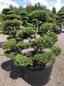 1641 - Borovice kleč - Pinus mugo 'Gnom'