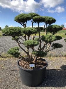 1642 - Borovice lesní - Pinus sylvestris 'Watereri'