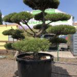 1643 - Borovice černá pravá - Pinus nigra nigra