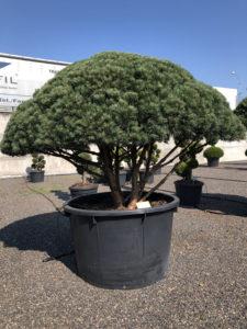 1645 - Borovice lesní - Pinus sylvestris 'Watereri'