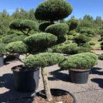 1646 - Jalovec prostřední - Juniperus media 'Hetzii'