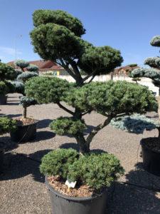 1647 - Borovice drobnokvětá - Pinus parviflora 'Tempelhof'