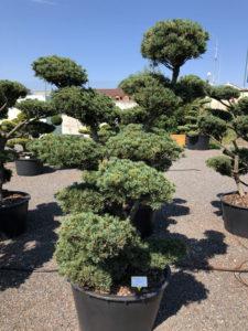 1648 - Borovice drobnokvětá - Pinus parviflora 'Tempelhof'