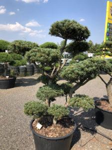 1649 - Borovice drobnokvětá - Pinus parviflora 'Tempelhof'