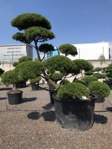 1650 - Borovice kleč - Pinus mugo mughus