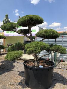 1651 - Borovice černá pravá - Pinus nigra nigra