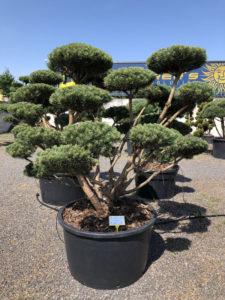1652 - Borovice lesní - Pinus sylvestris 'Watereri'