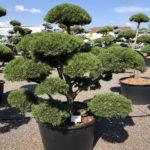 1655 - Borovice kleč - Pinus mugo 'Gnom'