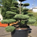 1656 - Jalovec prostřední - Juniperus media 'Hetzii'