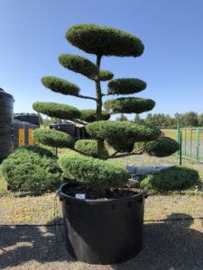1657 - Jalovec prostřední - Juniperus media 'Hetzii'