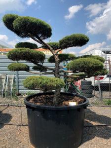 1658 - Jalovec prostřední - Juniperus media 'Hetzii'