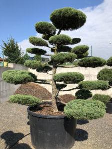 1659 - Jalovec prostřední - Juniperus media 'Hetzii'