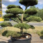 1666 - Borovice černá pravá - Pinus nigra nigra