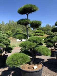 1675 - Borovice pokroucená - Pinus contorta