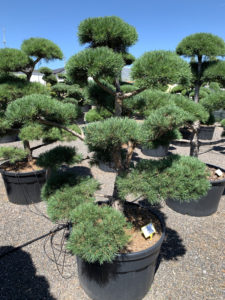 1678 - Borovice lesní - Pinus sylvestris