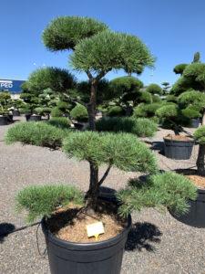 1679 - Borovice lesní - Pinus sylvestris